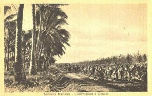 coltivazione_genale_somalia_italiana