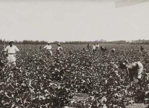Genale sarchiatura in un campo di cotone