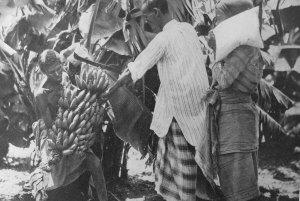 Somalia_Raccolta banane nelle concessioni agricole